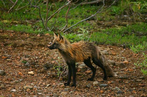cross fox fox canine