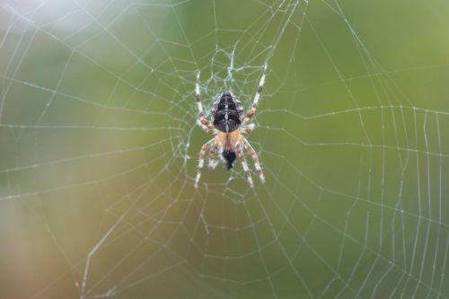 kryžminis voras,pluoštas,makro,natūralus