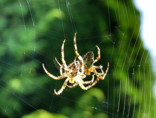 cross spider spider close