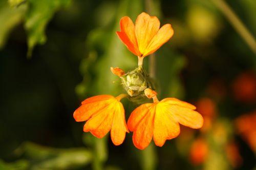 crossandra infundibuliformis firecracker flower kanakambaram flower