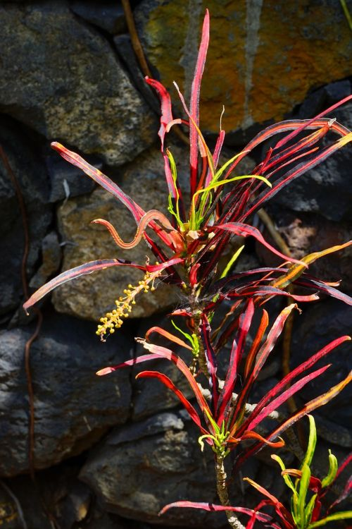 croton plant tropical