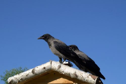 crow crows bird