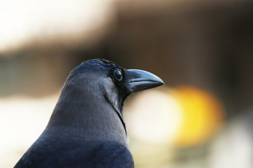 crow house-crow gre-necked