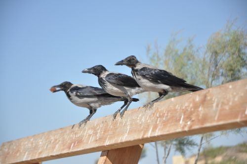 crow raven rook