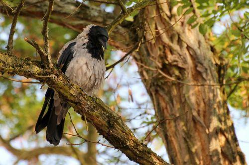 crow bird plumage