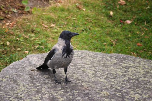 crow hooded crow carrion crow