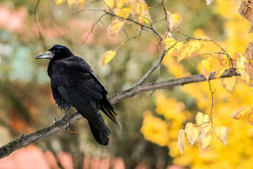 crow rook bird raven