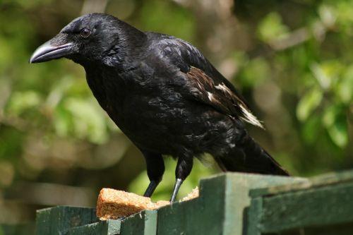 varna,plunksna,paukštis,juoda,snapas,laukinė gamta,plumėjimas,leucistikas