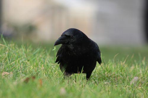 crow worm corvus