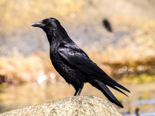 crow carrion crow bird