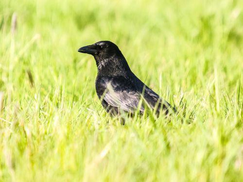 crow carrion crow raven bird