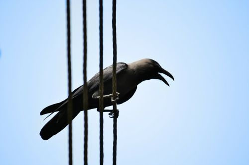 crow electric wire scavenger