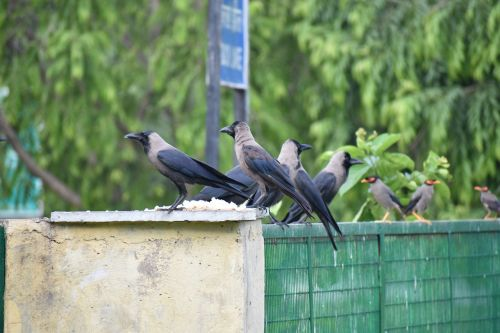 crow house crow corvus
