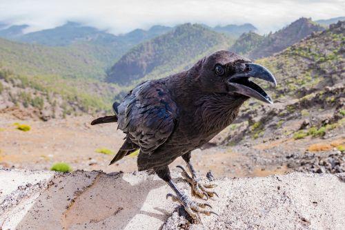 varna,Varnas,paukštis,juoda,tamsi,gyvūnas,gamta,sparnas,plunksna,laukinė gamta,snapas,juoda paukštis,ornitologija