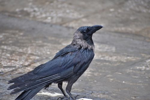 crow greynecked corvus