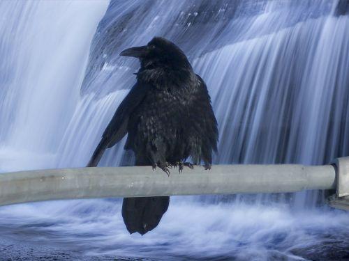 varna,paukštis,juoda paukštis,juoda,plunksnos,gyvūnas,laukinis gyvenimas,krioklys,vanduo,gamta,peizažas,natūralus vanduo