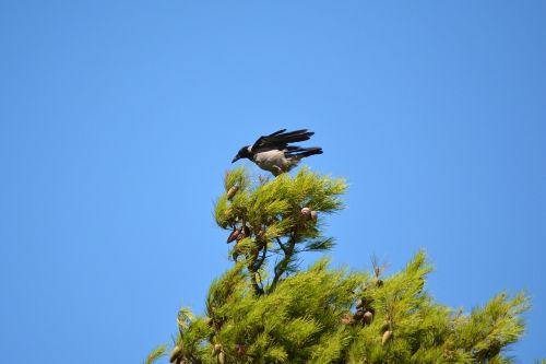 varna,paukštis,gamta,laukinė gamta,ornitologija,skristi,paukščių stebėjimas