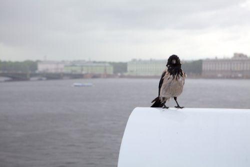 crow rain st petersburg russia