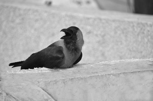 crow grey-necked house crow