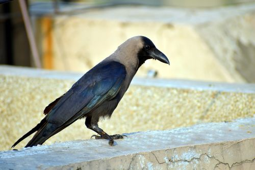 crow grey-necked corvus