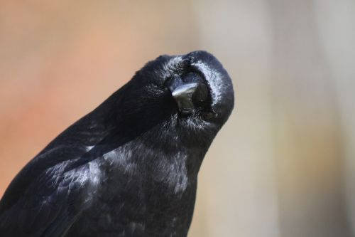 crow head tilt bird