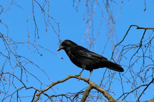 crow corvus frugilegus rook
