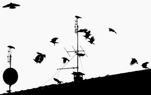 crow ravens birds