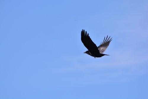 crow raven bird jackdaw