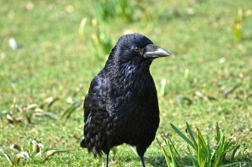 crow bird animal