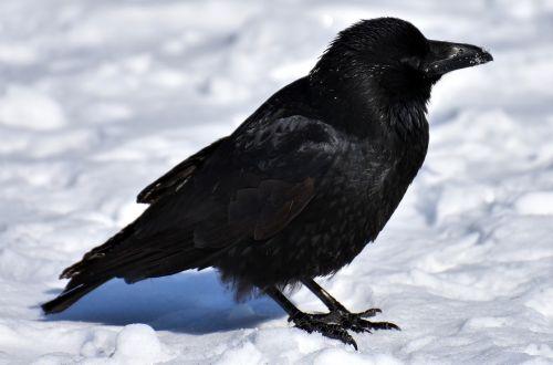 crow animal common raven