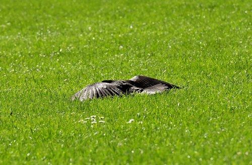 crow  sun  rest