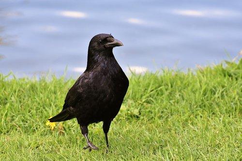 crow  raven bird  raven
