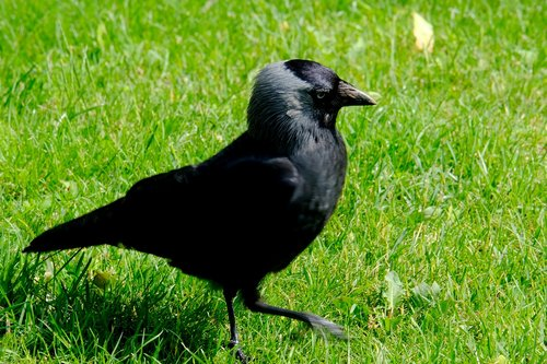 crow  bird  raven bird