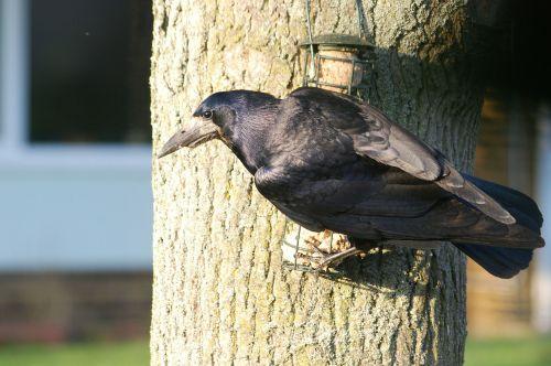crow rook corbie