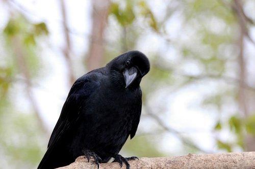 crow  bird  living nature