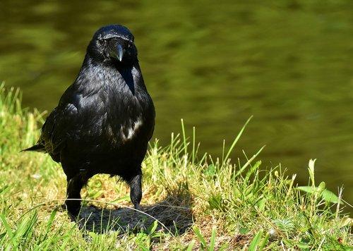 crow  raven  bird