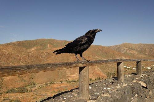 crow  rook  raven