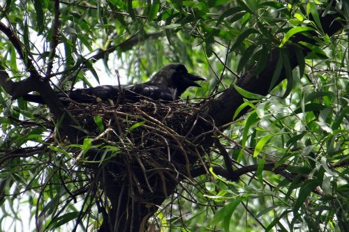 crow bird indian house crow