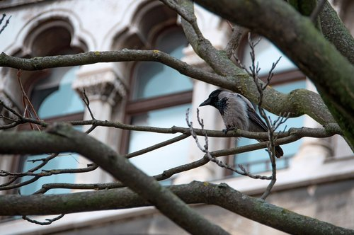 crow  bird  buda castle