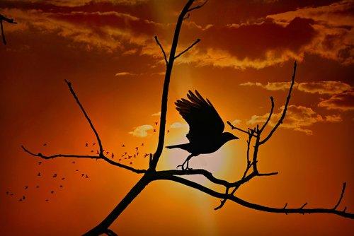 crow  bird  corvidae