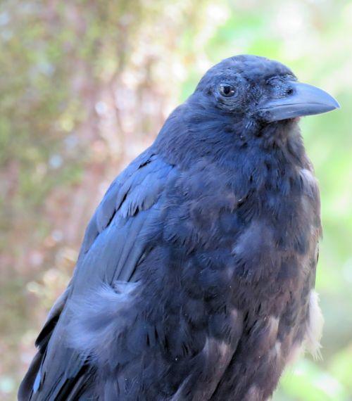 Crow 6
