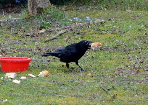 crow,bird,raven bird,raven,animal,eat,bread,free photos,free images,royalty free