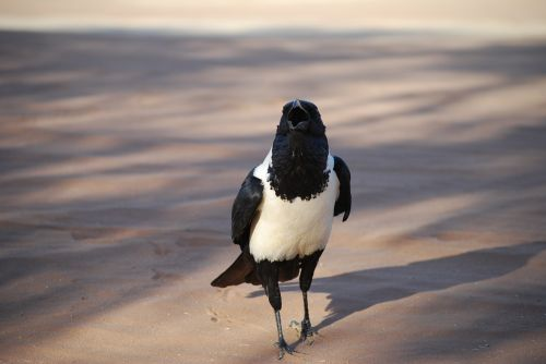 crow bird africa