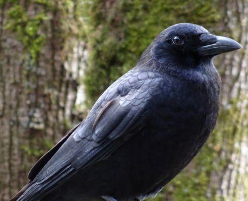 Crow Closeup 2