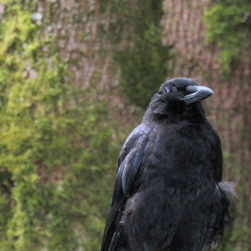 Crow On A Fence 3