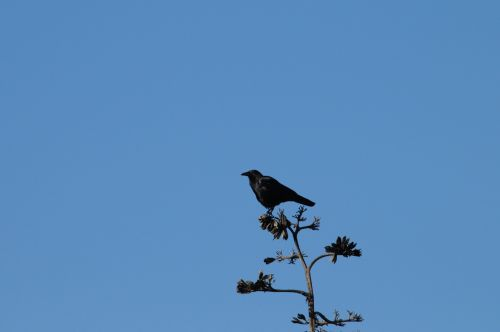 Crow On Top Of A Tree