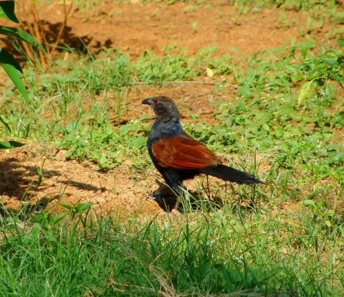 crow pheasant greater coucal bird