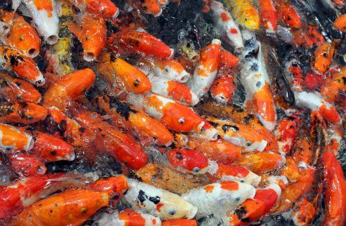 Crowd Golden Fish