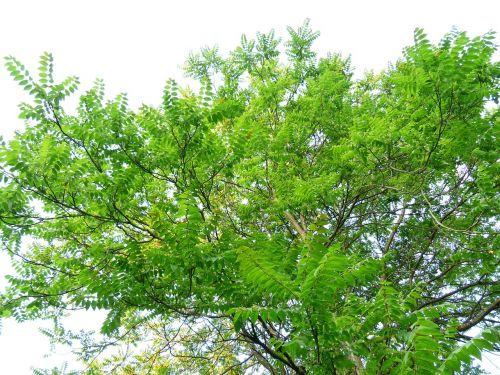 crown,tree,leaves,foliage,ailanthus altissima,green,deciduous tree,ailanthus,bitter ash greenhouse,simaroubaceae