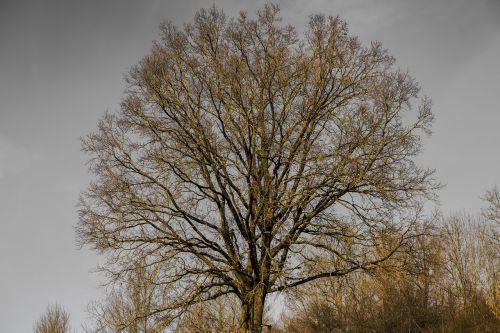 crown aesthetic tree